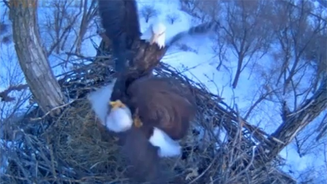 New eagles take over Larry and Lucy's nest