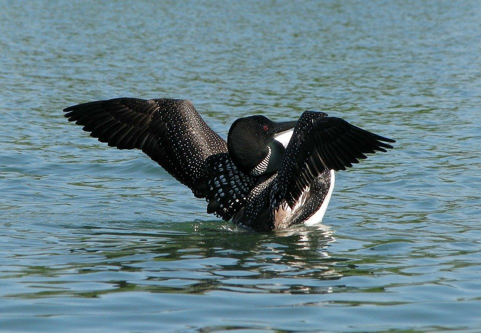 University of Minnesota studying where to build loon center
