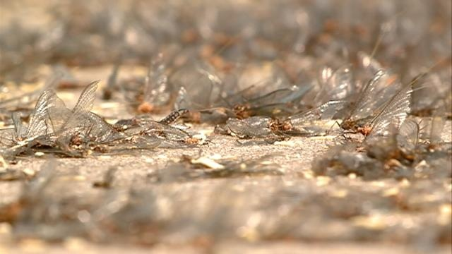 Big mayfly hatch could be on the way