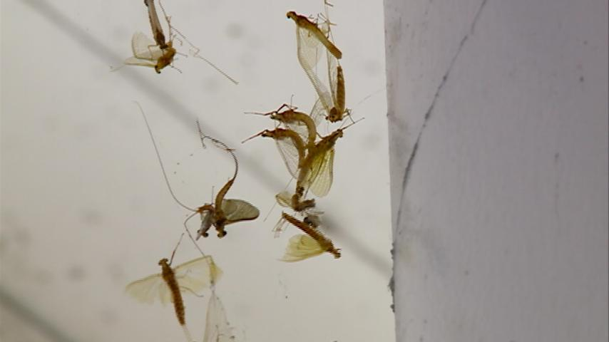 Mayfly hatch a little more calm this year, experts say