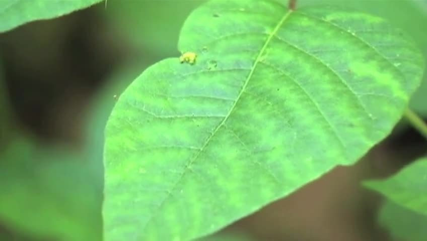 More poison ivy in La Crosse area than normal