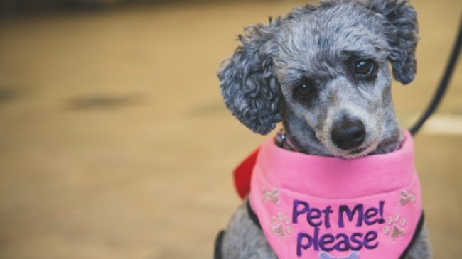 French poodle part of airport's new pet therapy program