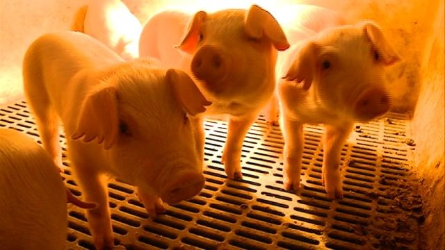 Virus killing millions of pigs expected to drive up pork price