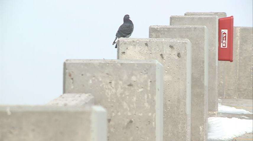 La Crosse to work with USDA to move pigeons outside of downtown area