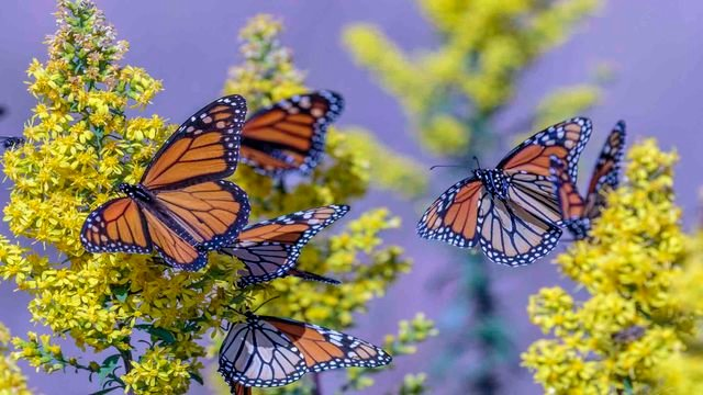 """""""Monarchs & The Holland Sand Prairie""""  Butterfly discovery experience offered in Holmen, Wi"""