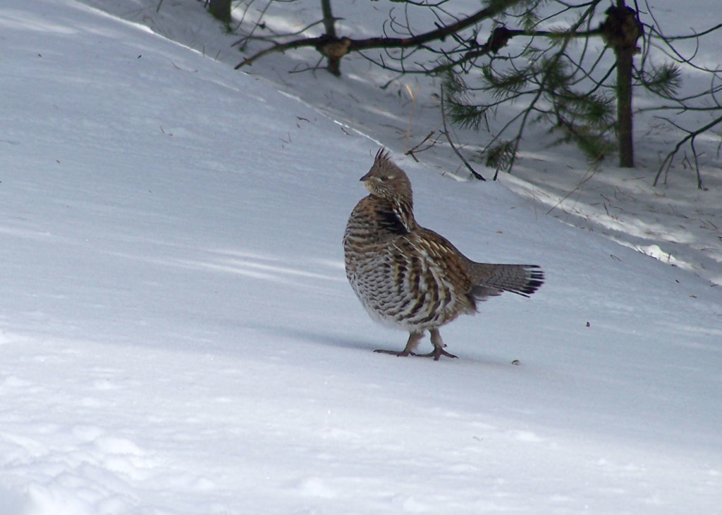 Wisconsin DNR board to consider ending grouse season early