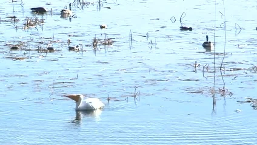 Tundra Swan migration draws nature lovers to scenic overlook