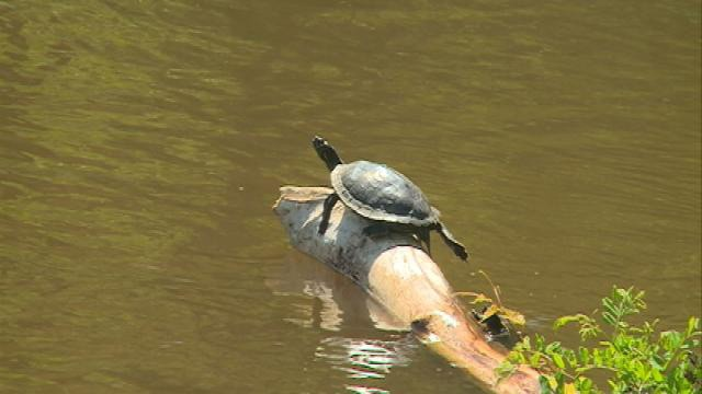 Wis. DNR: Look out for turtles crossing the road
