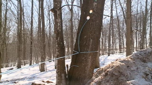Maple syrup season getting late start, could affect production