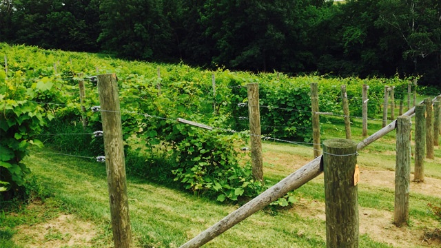 Winter causes harvest shortage at local vineyards