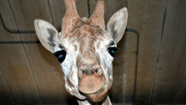 Woman climbs into exhibit, gets licked, kicked by giraffe