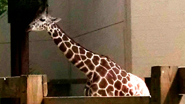 Woman pays fine for climbing into Giraffe pen at Madison zoo