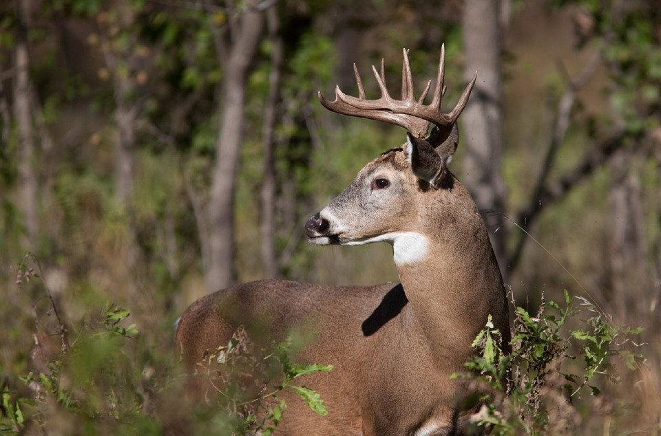 Test show 6 percent of deer sampled infected with CWD