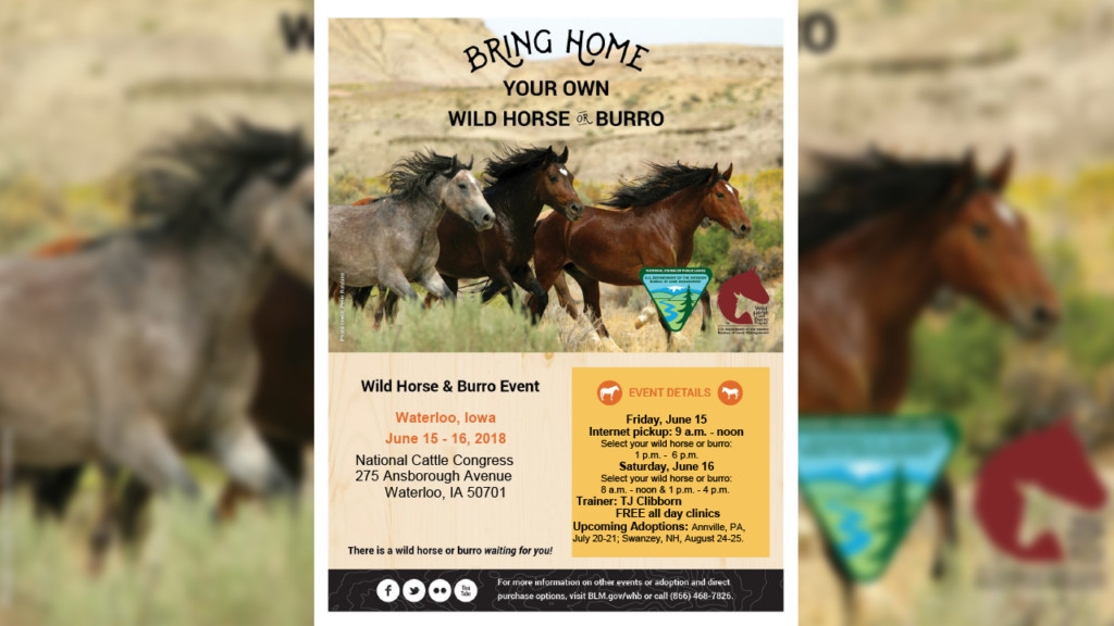 Wild horse event in Waterloo looking to place horses in good homes