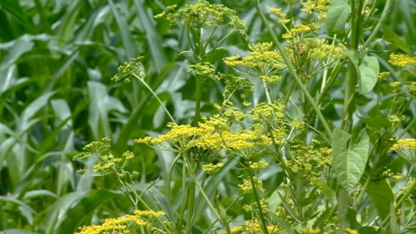 Painful invasive species getting closer to residential areas
