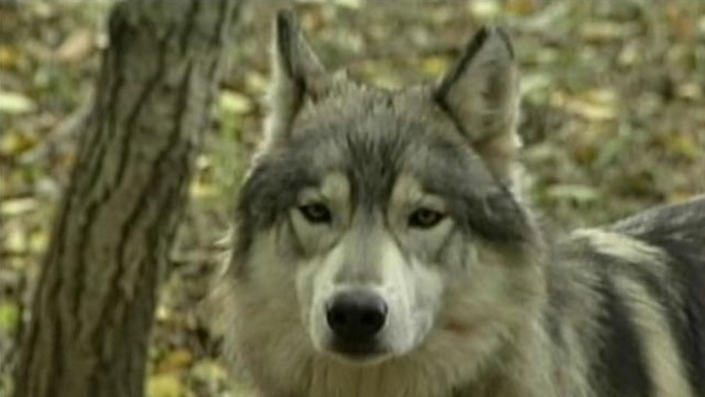 Wolf hunt opponents petition DNR