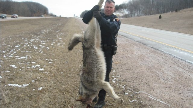 State Patrol: Wolf carcass found on roadside