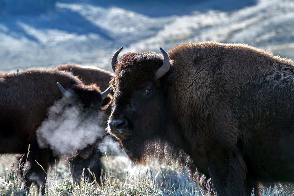 3 bison activists charged in Yellowstone National Park
