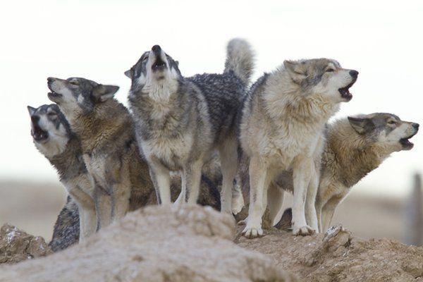 Get Ready To Howl At Covid 19 At 8 P M For Emotional Release