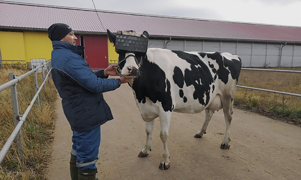 Russian dairy farmers gave cows VR goggles