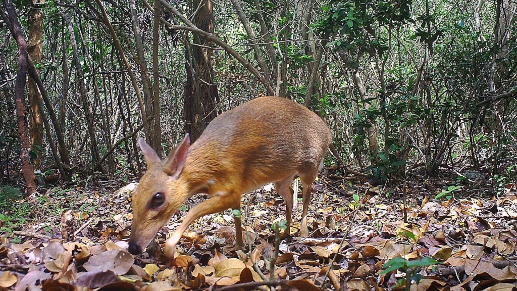 Caught on cam: Tiny deer-like animal thought lost for 30 years