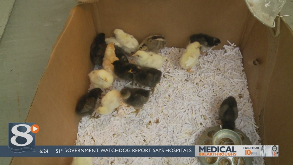 Cooped Up Family Provides Home To 21 Displaced Elementary School Baby Chickens