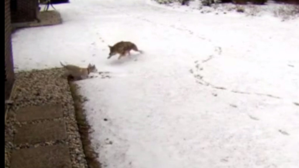 Small dog survives coyote attack caught on camera