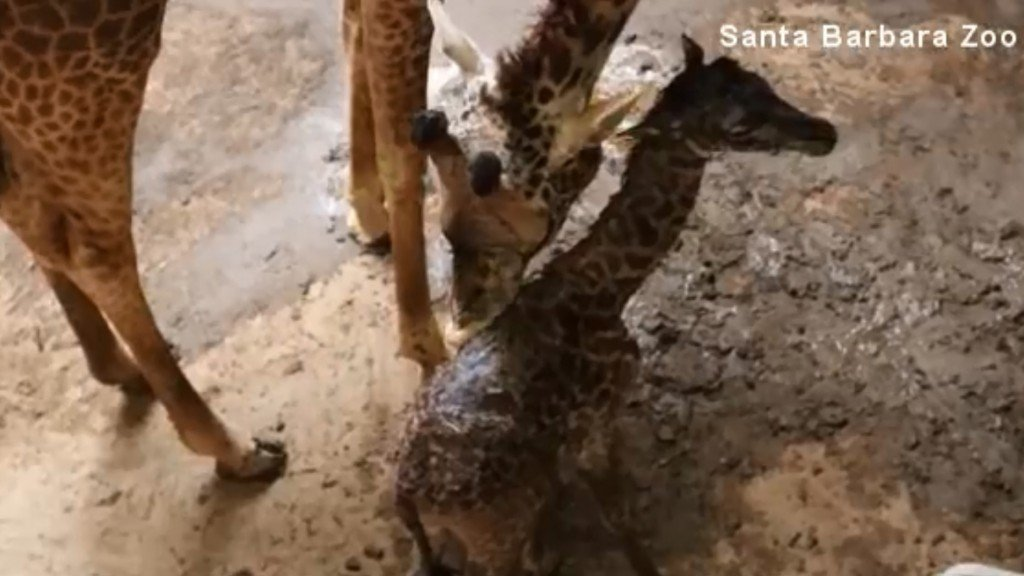 Baby giraffe born early at California zoo