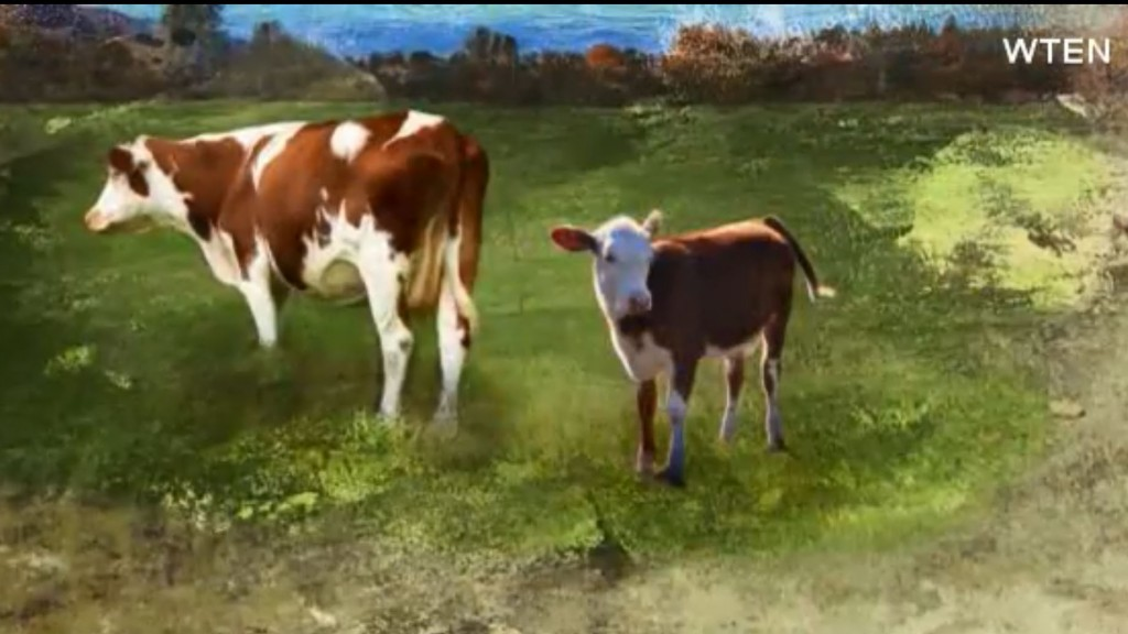 Blind cow's best bovine friend helps him around pasture