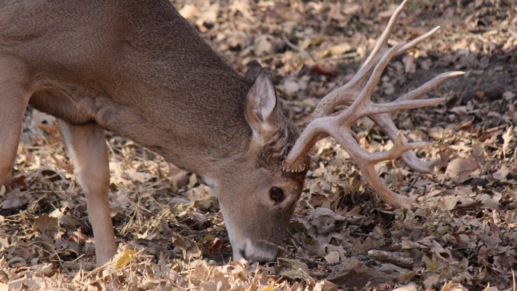 Drivers urged to watch out for deer during breeding season