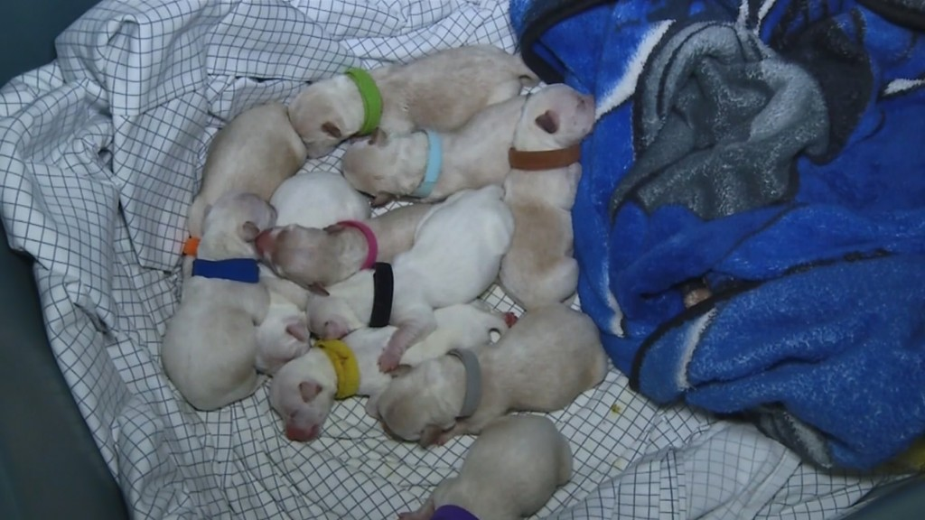Chihuahua gives birth to 11 puppies