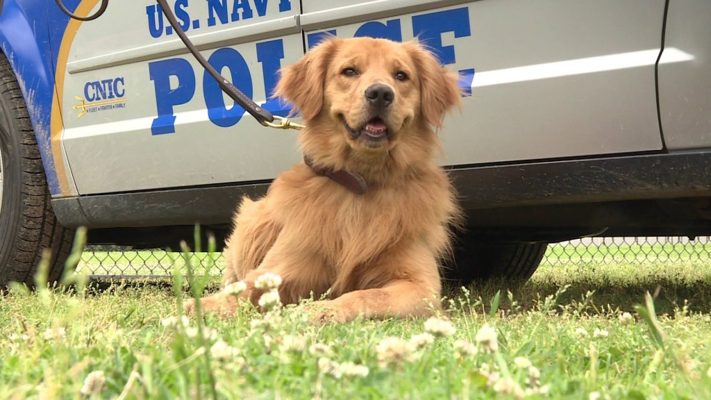 Meet Bud, the Navy's only golden retriever working dog