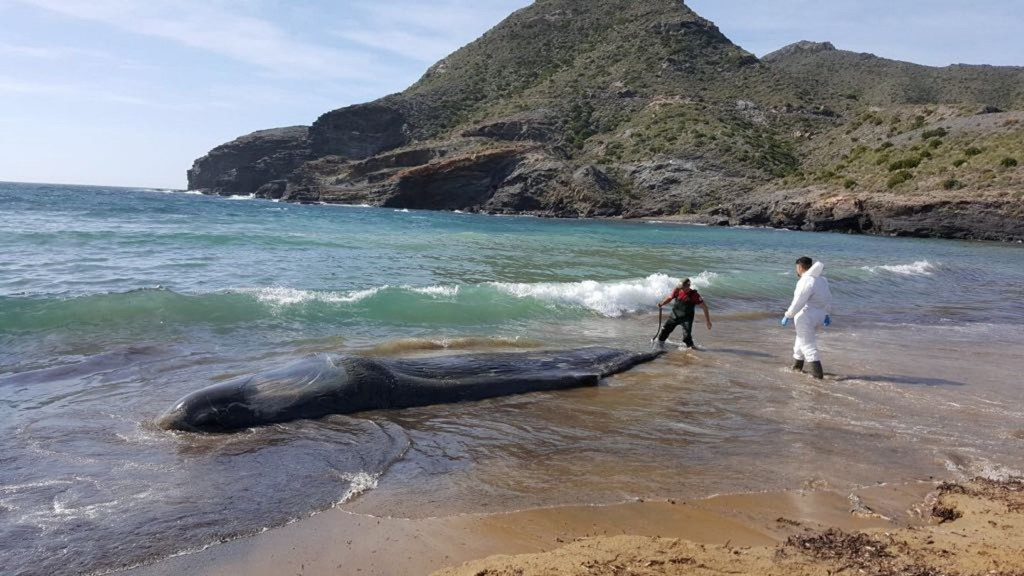Whale had 64 pounds of plastic, waste in stomach
