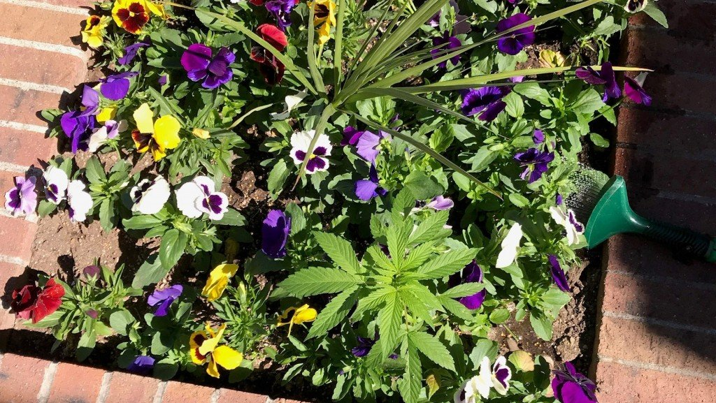 City workers surprised to find marijuana in flower bed