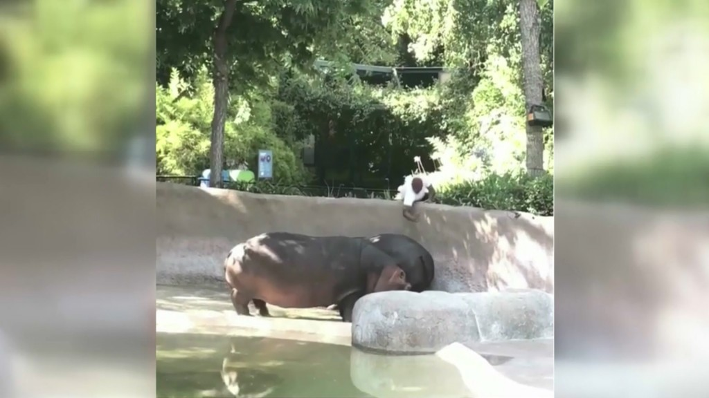 Video captures man spanking zoo's hippo