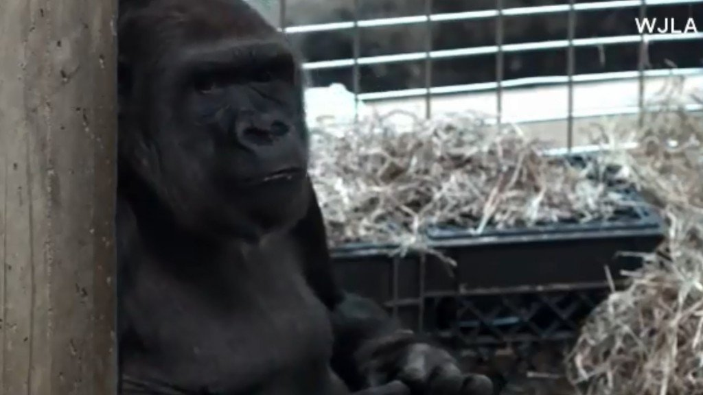DC zoo to welcome 1st baby gorilla in 9 years