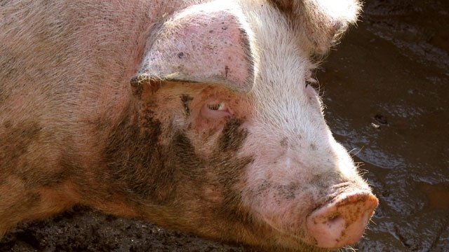 Half a million pounds of pork products recalled