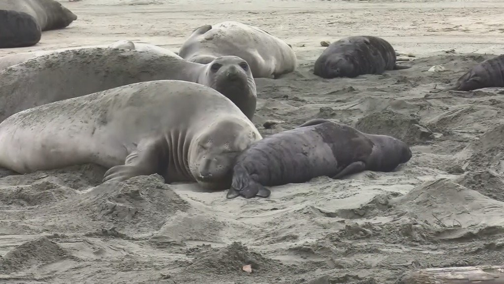 Elephant seals took over Calif. beach during shutdown