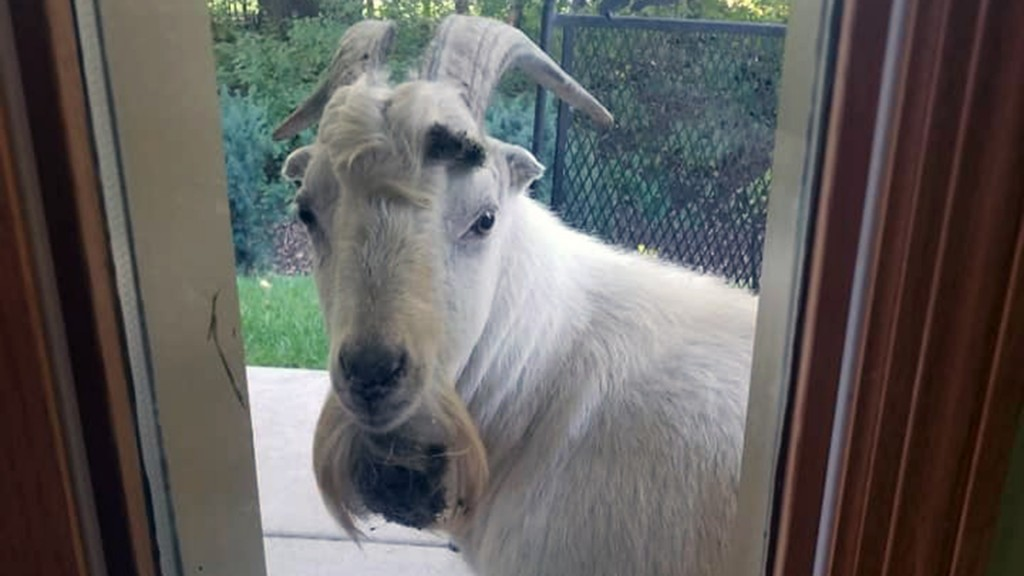 Escaped goat wanders through Minnesota town
