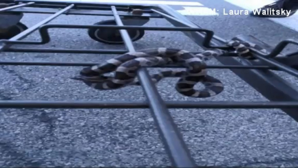 Shopper surprised by snake on shopping cart