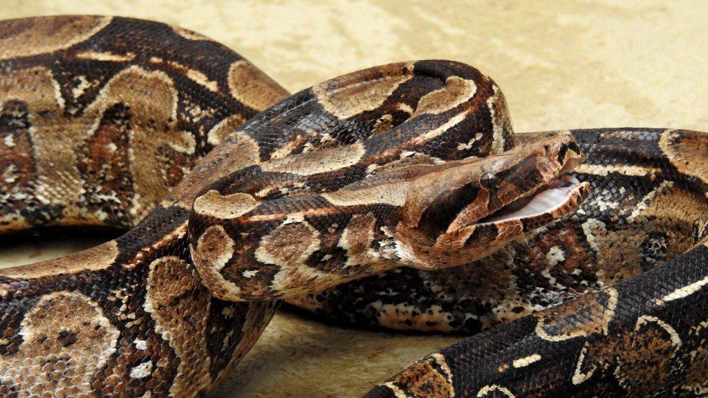 Residents warned as giant boa constrictor at large in Sydney suburb