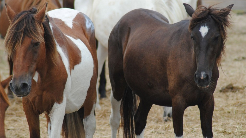 Famous herd of wild ponies stalked by deadly disease