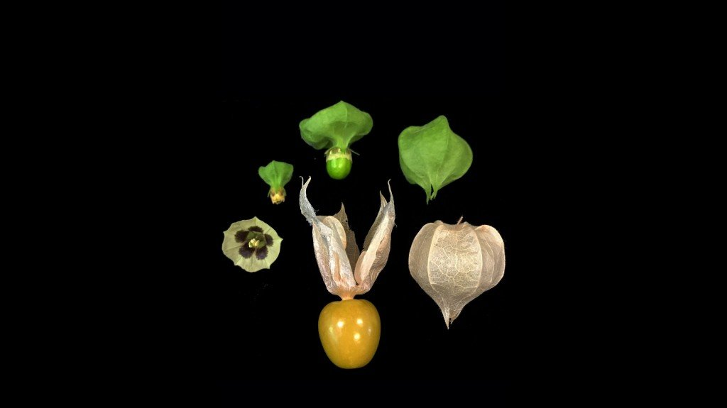 Groundcherries, the latest modified fruit scientists want you to try