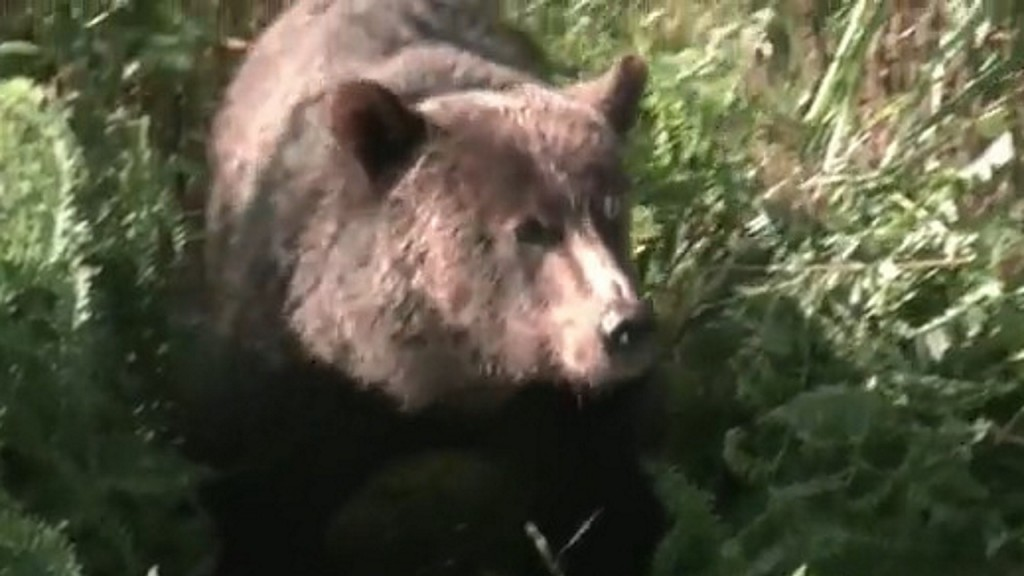 Volunteers feed emaciated grizzly bears in Canada