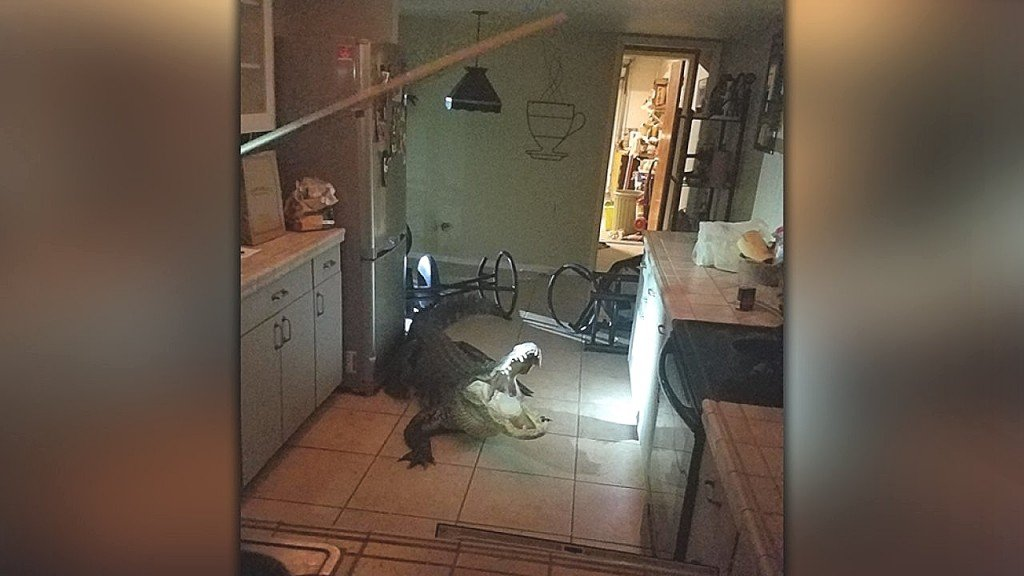 11-foot alligator breaks into Florida homeowner's kitchen