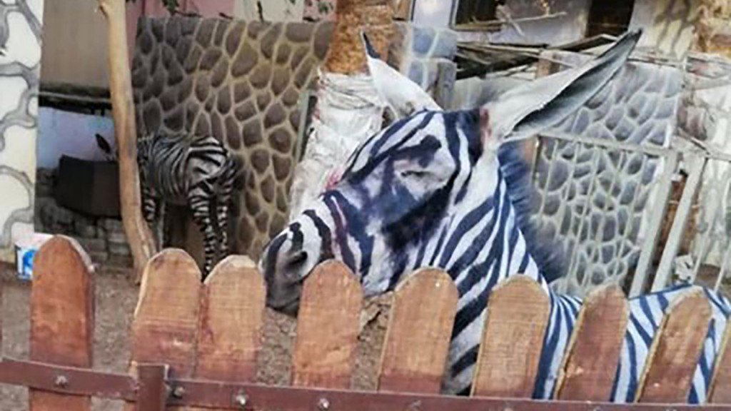 Zoo accused of painting a donkey, passing it off as a zebra