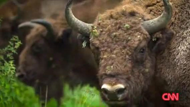 Wild bison herd adopts escaped cow in Poland