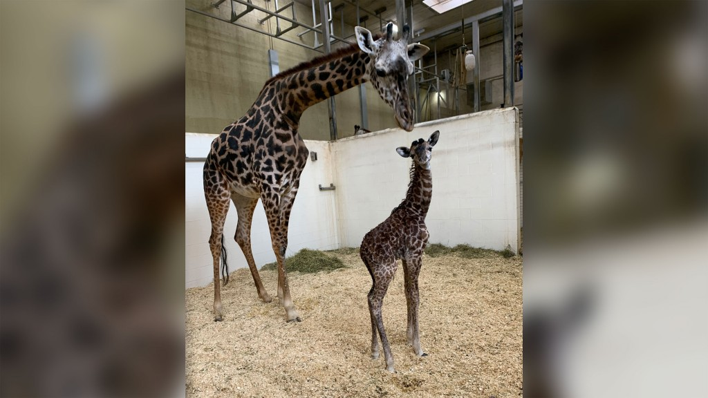 Cincinnati Zoo welcomes baby giraffe