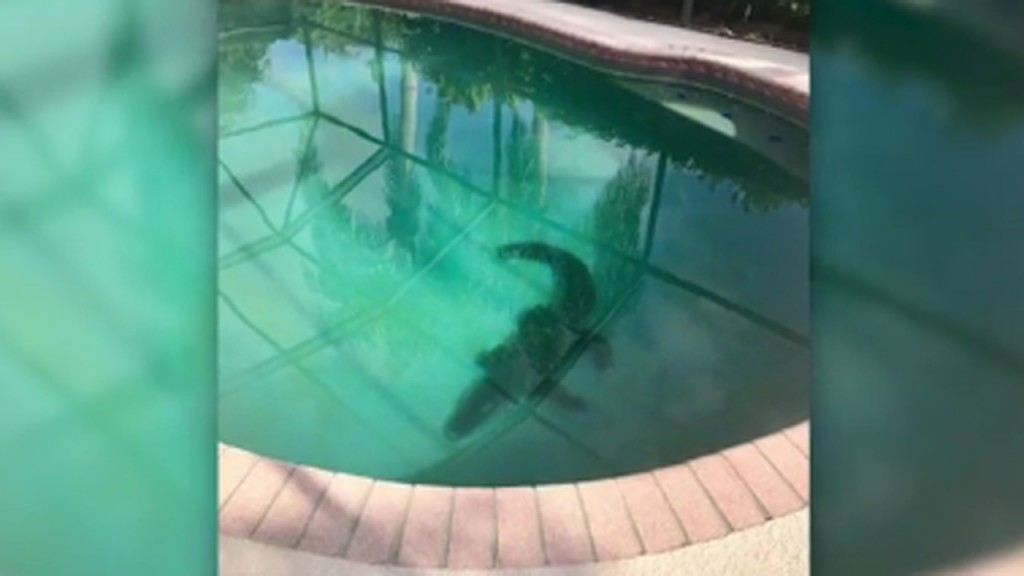 Gator flips out while being dragged from Florida swimming pool