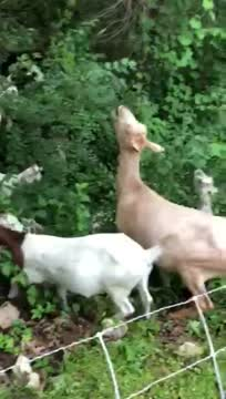 Goats On The Go Eat Up Invasives
